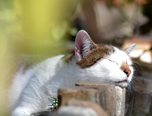 Corona: Katzen können sich beim Menschen anstecken, umgekehrt ist das nicht möglich